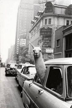 Llamas are so cool!!