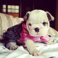 Bursting with joy for my new outfit!! #Masonthebulldog #Padgram
