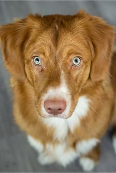 Nova Scotia Duck Tolling Retriever ~ Classic Look