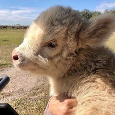Cute Baby Cow, Baby Cows, Cute Cows, Cute Babies, Baby Elephants, Baby Sheep, Fluffy Cows, Fluffy Animals, Animals And Pets