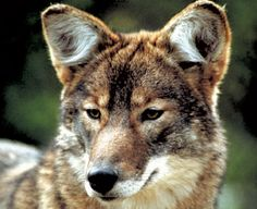 Coywolves, coyote-wolf hybrids, are prowling Rock Creek Park and D.C. suburbs - The Washington Post