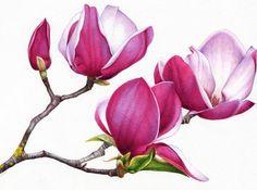 Heidi Willis_Botanical Art_Magnolia_watercolour