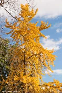Ginkgo, el árbol chino que maravilla a internet y que también puede encontrarse en España | Verne EL PAÍS