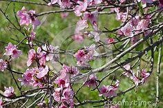 Flores Rosadas Del Melocotón - Descarga De Over 46 Millones de fotos de alta…