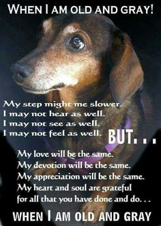 Senior pets need love too. If you live in Ontario, Canada you can request an application to adopt a senior dachshund Basset Dachshund, Dachshund Funny, Dachshund Love, Daschund, Dachshund Rescue, Dachshund Quotes, Piebald Dachshund, Rescue Dogs, Cute Puppies