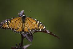 butterfly by Roberto Epifänio on 500px