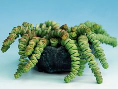 Crassula rupestris subsp. marnieriana - Jade Necklace | World of Succulents
