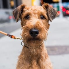 """""""Dante, Irish Terrier (2 y/o), Houston & Washington St., New York, NY • """"He doesn't like scooters or…"""" The Dogist (@thedogist) on Instagram:"""