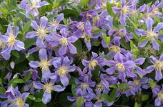 Clematis 'Juuli' (Uno Kvistik, 1984) bears very striking flowers of purple blue sepals with dramatically contrasting stamens consisting of creamy filaments and yellow anthers. The flowers are semi-nodding with sepals that recurve along their margins and at their tips. Free-flowering. An herbaceous, non-climbing clematis which make a delightful subject for the mid or front border or a container. We grow these in cages or propped between low shrubs. Prune hard at the end of winter.