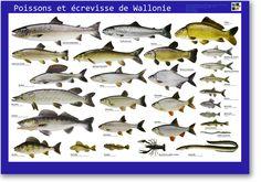 Les poissons de mer m diterran e autour de la mer for Bache poisson