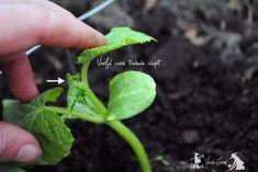 Cultivarea castravetilor si ciupirea lor - magazinul de acasă Celery, Sprouts, Vegetables, Fruit, Garden, Solar, Urban, Plants, Rose Trees