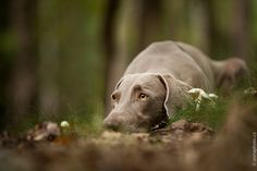Stealth mode.  This looks exactly like my weim!