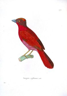 Animal - Bird - Red and pink bird.jpg 1,131×1,627 pixels