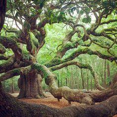 Angel Oak Tree in Angel Oak Park on Johns Island, Southern Carolina