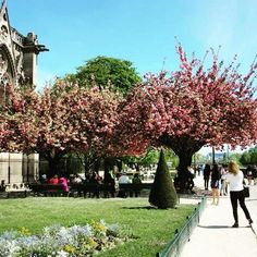 🇫🇷Cherry Blossoms 🌸🌺🌸 #notredame #spring #april #2015 #cherryblossoms #picturesque #magical #paris #france #melbournelifelovetravel