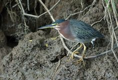 Green Heron - Butorides virescens A migratory species, breeding in North America and wintering south to northern South America.