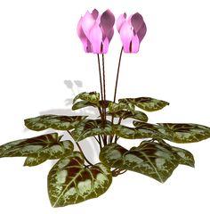 Cyclamen Plante