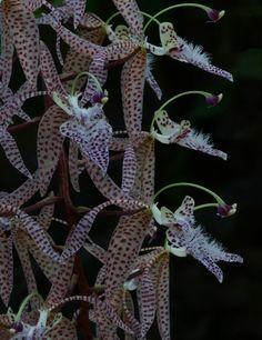 The Orchid Column: Polycycnis barbata