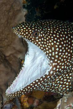 White mouth moray eel. by Mehmet Salih Bilal