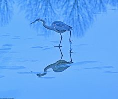 Blue Heron in Lake Luxembourg