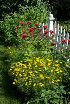 White picket fence garden of beebalm (red) and coreopsis( yellow) flowers Picket Fence Garden, White Picket Fence, Garden Fencing, Garden Landscaping, Picket Fences, Outdoor Plants, Garden Plants, Outdoor Gardens, Jardin Decor