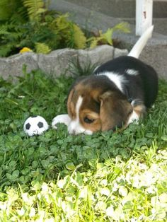Alex the #beagle <---- that is so ADORABLE... reminds me of baby Lucky :)