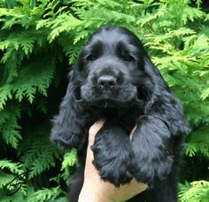 """Outstanding """"cocker spaniel puppies"""" information is readily available on our website. Check it out and you wont be sorry you did. Black Cocker Spaniel, American Cocker Spaniel, Cocker Spaniel Puppies, Cute Puppies, Dogs And Puppies, Corgi Puppies, Doggies, Cute Dogs Breeds, Dog Breeds"""