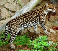 The Ocelot. Probably has the most beautiful markings of the big cats. If you would like to see one up close, visit the Tucson Desert Museum!