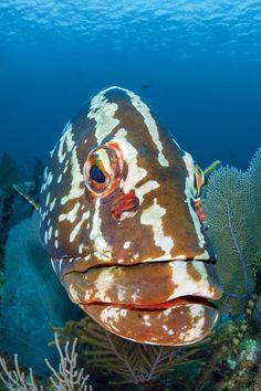 Nassau Grouper, Bloody Bay Wall, Little Cayman. Alex Mustard
