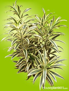 26 Best Dracaenas: Easy Care House Plants images in 2019 ... Varigated Leaf House Plant Identification on tall indoor plants, tropical green plants, large leaf indoor plants, varigated leaf tulips,