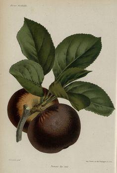 Pomme Api noir, Paris-1864