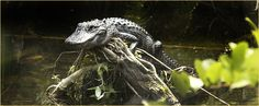 Everglades Airboat, Airboat Rides, Local Hotels, Everglades National Park, South Beach, Reptiles, National Parks, Lion Sculpture, Wildlife