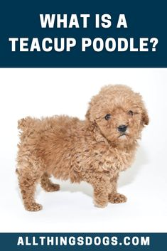 What Is A Teacup Poodle? A small dog that has a huge heart and willingness to learn and please, just like a tiny Einstein, this is a teacup sized version of the standard Poodle. Read our breed guide to discover other interesting facts about the Teacup Poodle. #teacuppoodle #whatisateacuppoodle #theteacuppoodlefacts Miniature Dog Breeds, Tea Cup Poodle, Interesting Facts, Teacup, Small Dogs, Dog Food Recipes, Einstein, Fun Facts, Teddy Bear