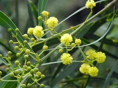 #Acacia #retinodes #Wirilda #flowers