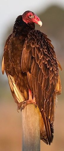 Turkey vulture (Cathartes aura). 'Watched one gliding overhead a couple days ago--so graceful in the sky!
