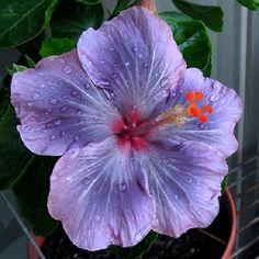 Hibiscus: impresionante gama de colores. | Cuidar de tus plantas es…