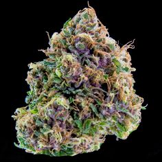 Black Cherry Soda is a gorgeous sativa-dominant hybrid with a unique black cherry soda flavor that is especially prominent when vaped. Buds of this strain are a blend of forest green and deep purple leaves with long orange pistils and a gentle coating of shimmering trichomes that make the whole bud glisten. This strain produces a tingling cerebral effect that moves from the base of the head throughout the whole body, leaving its user feeling energetic and creative with a mild haze. This…
