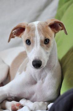 ~ Beautiful ~ greyhound puppy