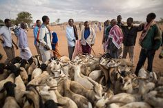 Picture of: Sheep and goats at a market in Somaliland