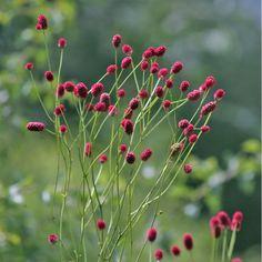 Sanguisorba officinalis 'Arnhem' x pls, back lhs bed Prairie Planting, Prairie Garden, Cut Flower Garden, Flower Farm, Water Garden, Garden Plants, Cut Flowers, Wild Flowers, Purple Flowers