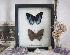 Hymnes in Noctem . cadre artisanale entomologie cabinet de curiosité véritables papillons charaxes décoration pagan sorcellerie vintage .