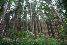 Harz, Mischwald Birke und Fichte, Foto Birgit Puck