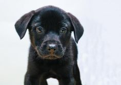 Meet Patrick, an adoptable Labrador Retriever looking for a forever home. If you're looking for a new pet to adopt or want information on how to get involved with adoptable pets, Petfinder.com is a great resource.