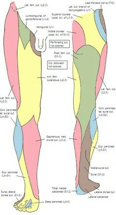 pin by herbert arion on leg nerve | pinterest | femoral nerve, Muscles