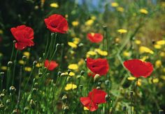 Image from http://blogs.angloinfo.com/portugal-post/files/2012/02/Wildflowers-in-Portugal.jpg.