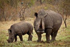 "Fun Facts About Rhinos  A group of rhinos is called a ""crash"". Seems appropriate."