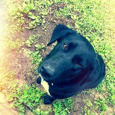 My sweet Curtis <3 Chesapeake/Black Lab
