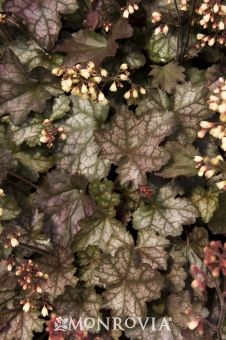 Crystal Spires Coral Bells, Fast Mounding foliage 12 in. tall, 18 in. flower stems 24 in. Coral Bells Heuchera, Drought Resistant Plants, Monrovia Plants, Plant Zones, Shade Garden Plants, Gothic Garden, Plant Catalogs, Garden Theme, Back Gardens