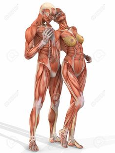 muscular system anatomical chart hd - Google Search Like & Repin. Noelito Flow. Noel  Panda http://www.instagram.com/noelitoflow