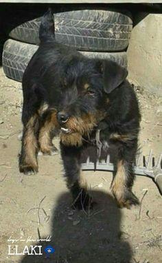 Terriers, Pet Adoption, 6 Months, Hunting, German, Animals, Deutsch, 6 Mo, Animales
